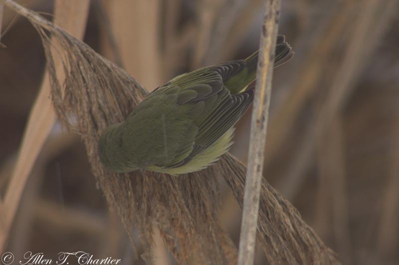 Orange-crowned_Warbler_0253.jpg