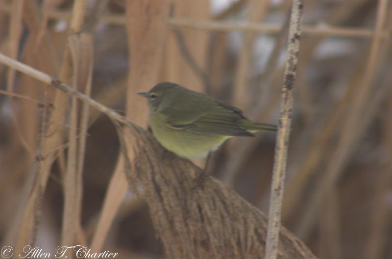 Orange-crowned_Warbler_0255.jpg