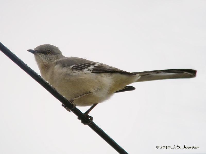 NorthernMockingbird9491b.jpg
