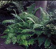 Southern Wood (River) Fern