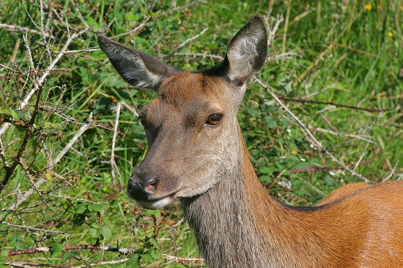Red Deer doe Arran June 2004