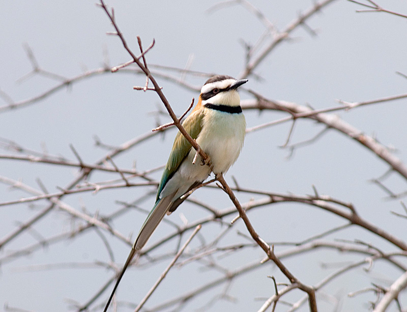 White-Throated Bee Eater