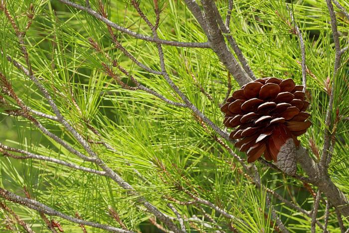 Stone pine Pinus pinea pinija_MG_9620-1.jpg