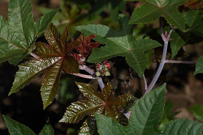 Castor oil plant Ricinus communis klo¹èevec_MG_4271-1.jpg