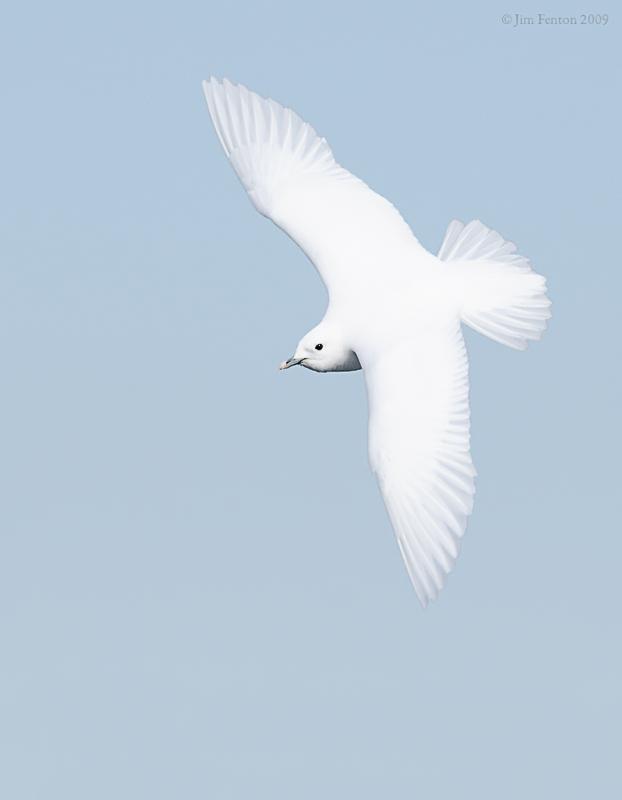 _NW98175 Ivory Gull In Flight