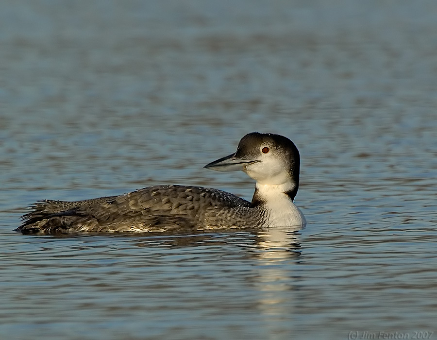 common loon winter. Common Loon in winter plumage: