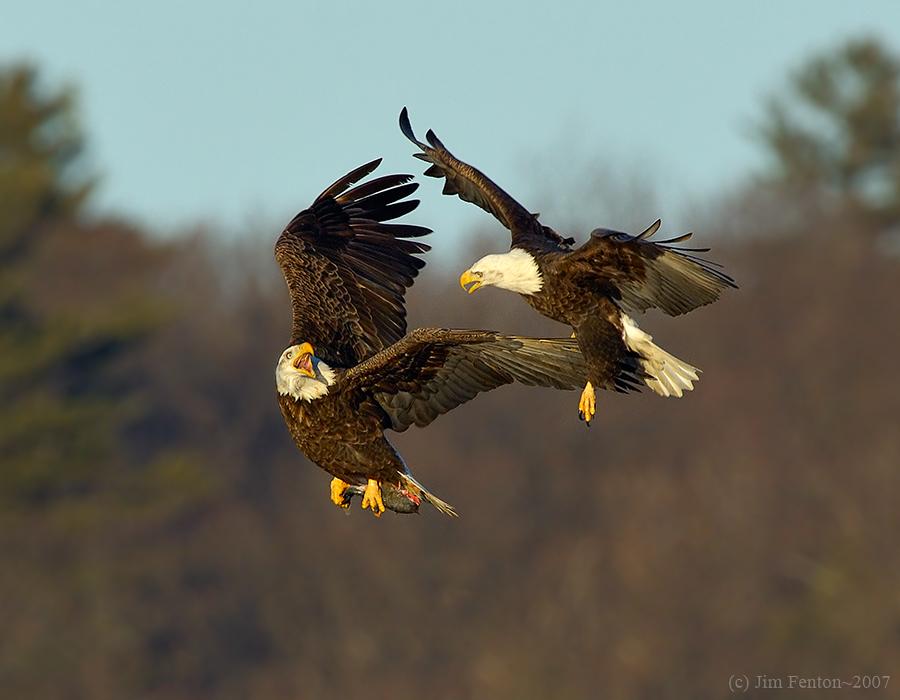 Eagle Fight in  Late Winter ~ Newburyport