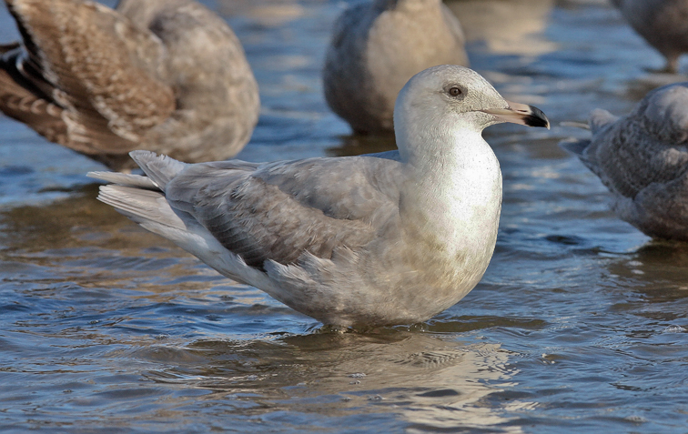 Glaucous x Herring Gull, 2nd cycle (1 of 2)
