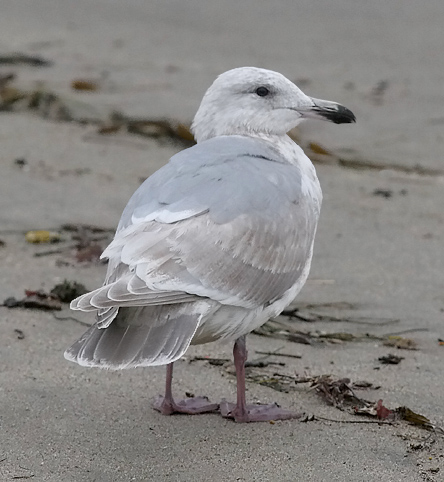 Glaucous-winged Gull, 2nd cycle