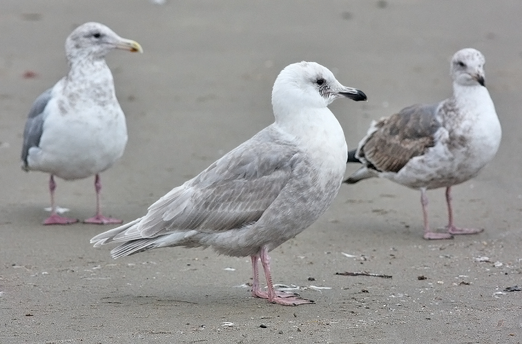 Glaucous-winged Gull, 2nd cycle (2 of 2)