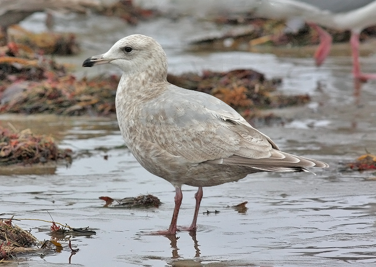 Glaucous-winged x Herring Gull, 2nd cycle