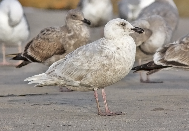 Glaucous-winged Gull, bleached 2nd cycle (1 of 2)
