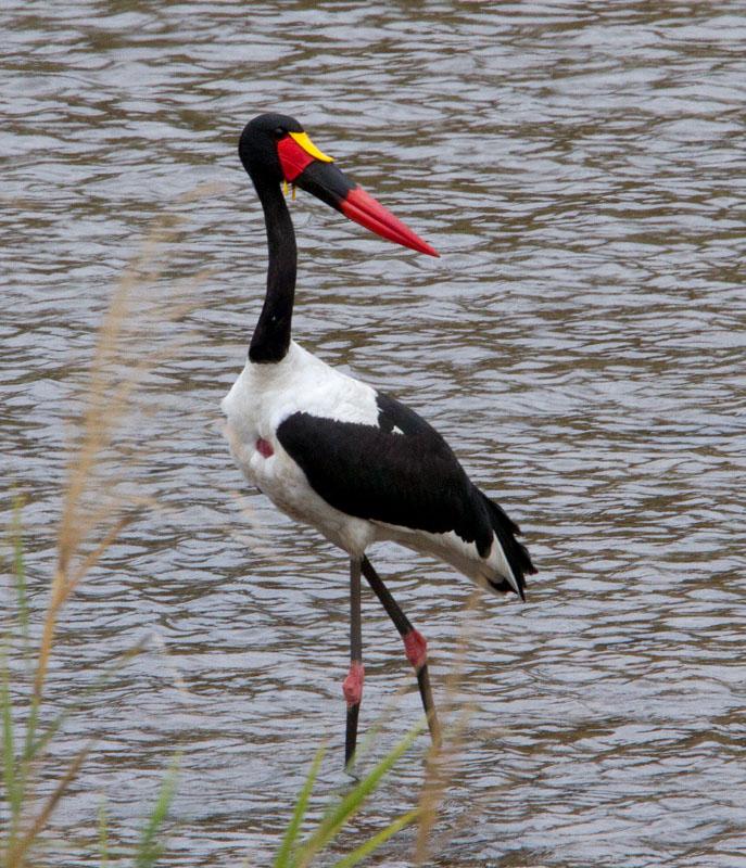 Saddle Billed Stork