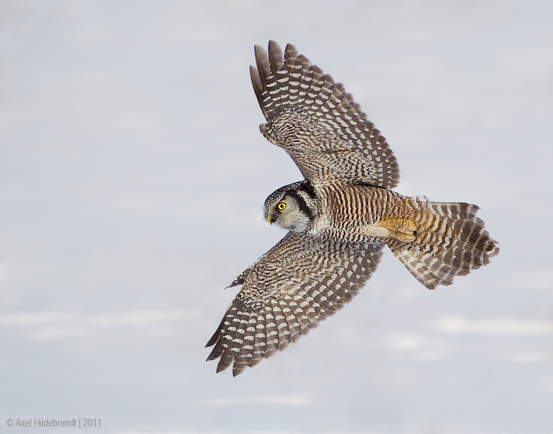 NorthernHawkOwl02c8998.jpg
