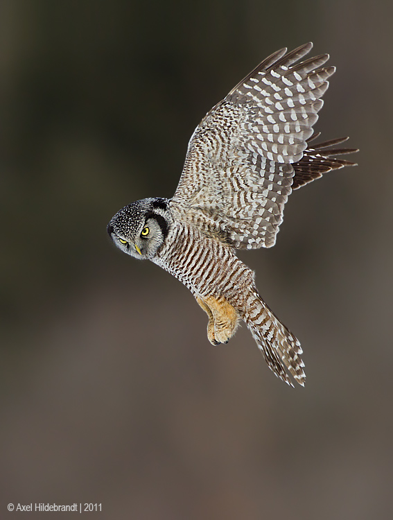 NorthernHawkOwl04c8953.jpg