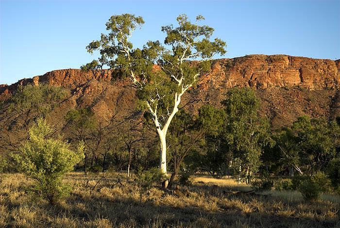 Sunlit ghost gum, outside Alice Springs