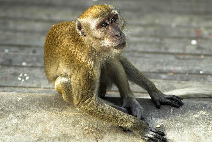 Macaque at Batu Caves