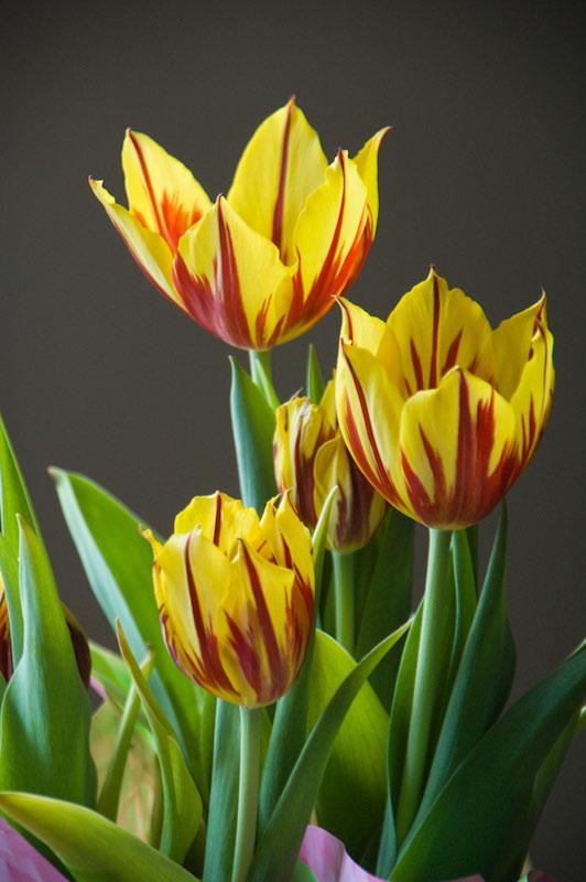 Easter Tulips DSC_0509.jpg