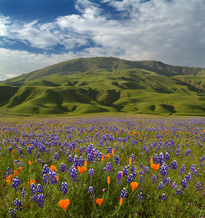Tejon Ranch Poppies & Lupine