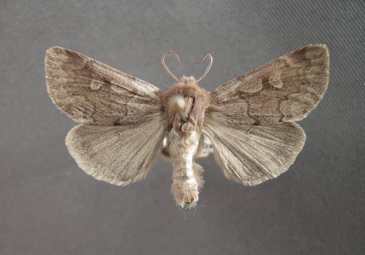 10939 Xestia (Pachnobia) okakensis