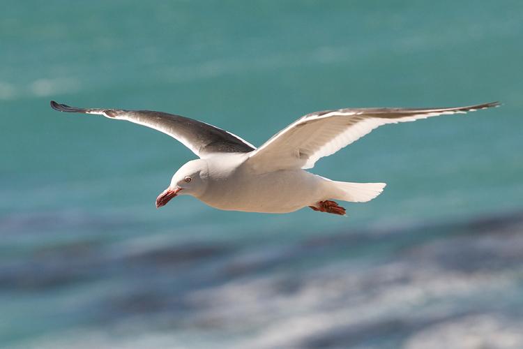 Dolphin Gull - Dolfijnmeeuw - Larus scoresbii