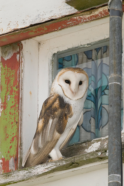Barn Owl - Kerkuil - Tyto alba