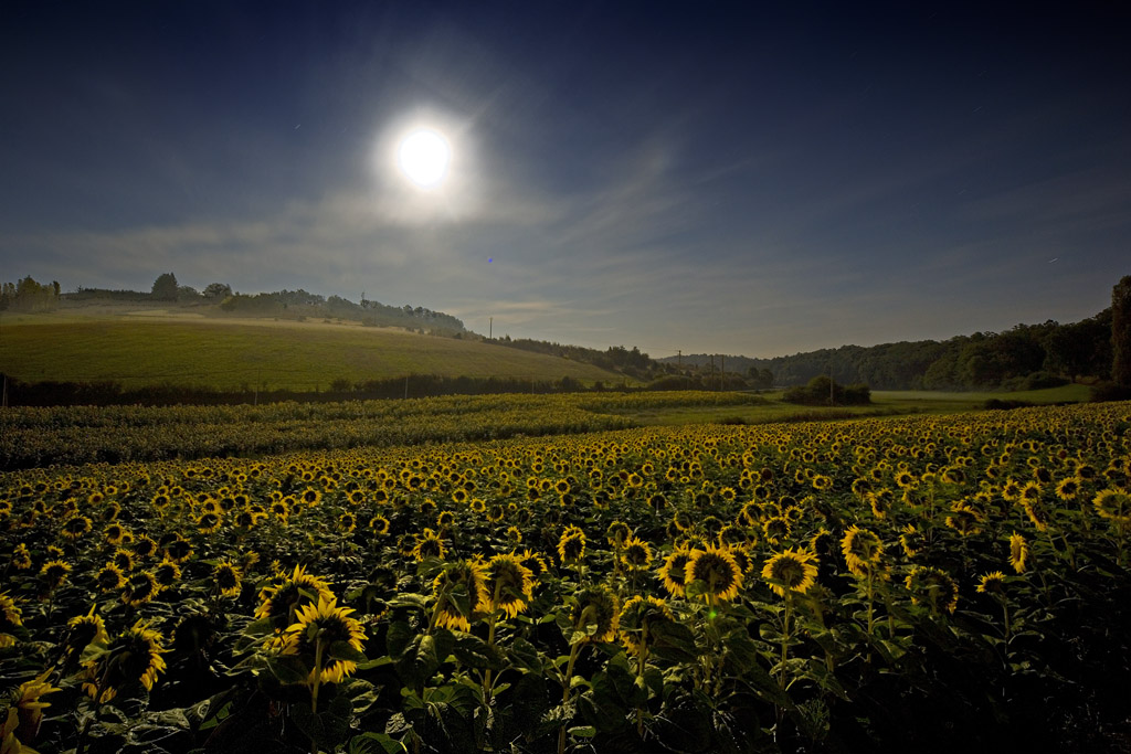 Sunflowers in the moonlight.jpg