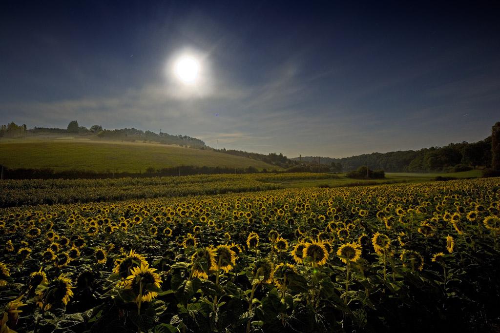 Sunflowers in the moonlight.jpg