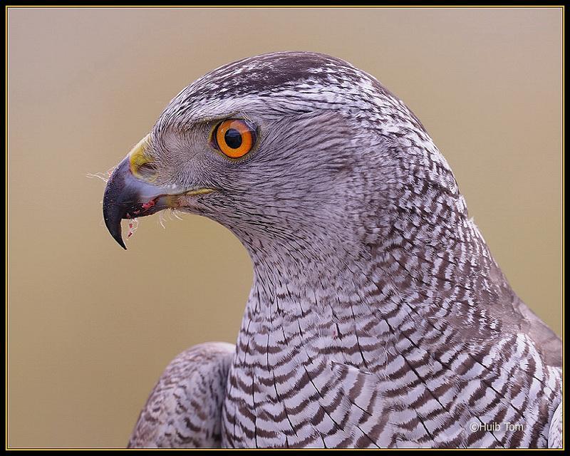 Havik - Hawk