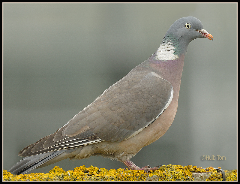 Houtduif - Wood Pigeon, Ring Dove