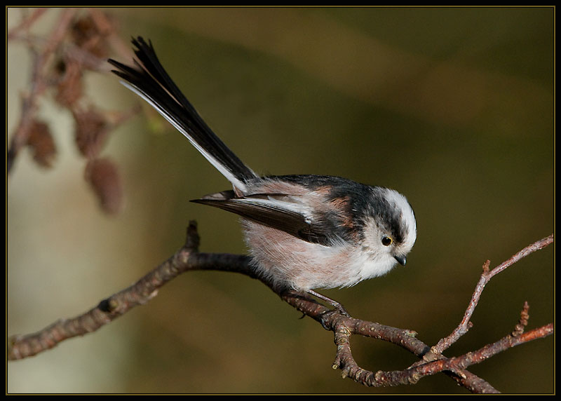 Staartmees Long -Tailed Tit