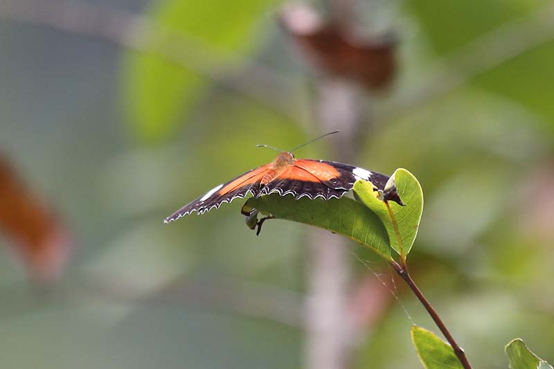 Red Lacewing (Cethosia cydippe)