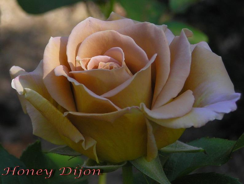Honey Dijon