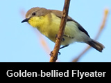 Golden-bellied Flyeater