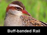 Buff-banded Rail