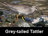 Grey-tailed Tattler at Manila Bay