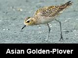 Asian Golden-Plover (Pluvialis fulva)