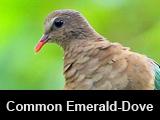 Common Emerald-Dove