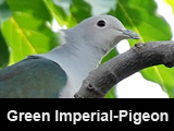Green Imperial-Pigeon