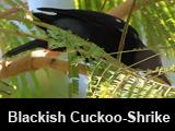 Blackish Cuckoo-Shrike