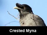 Crested Myna