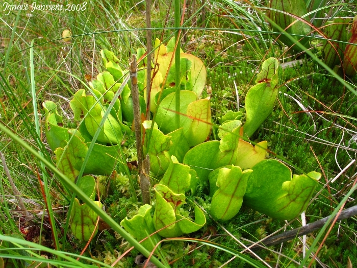 Sarracenia purpurea ssp purpurea ( green form with red veins )