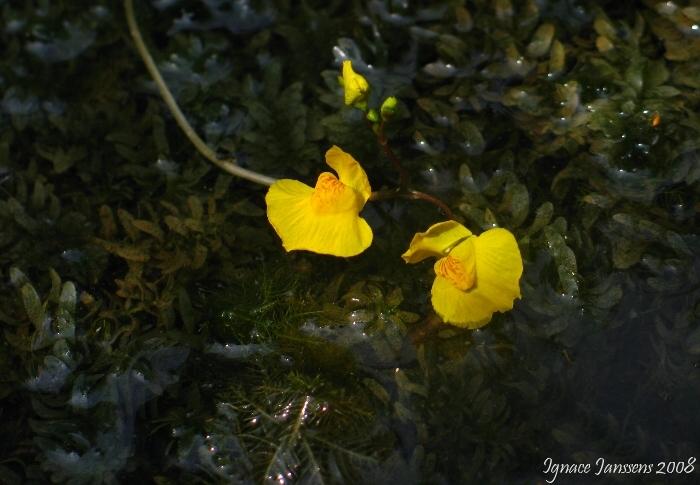 Utricularia australis