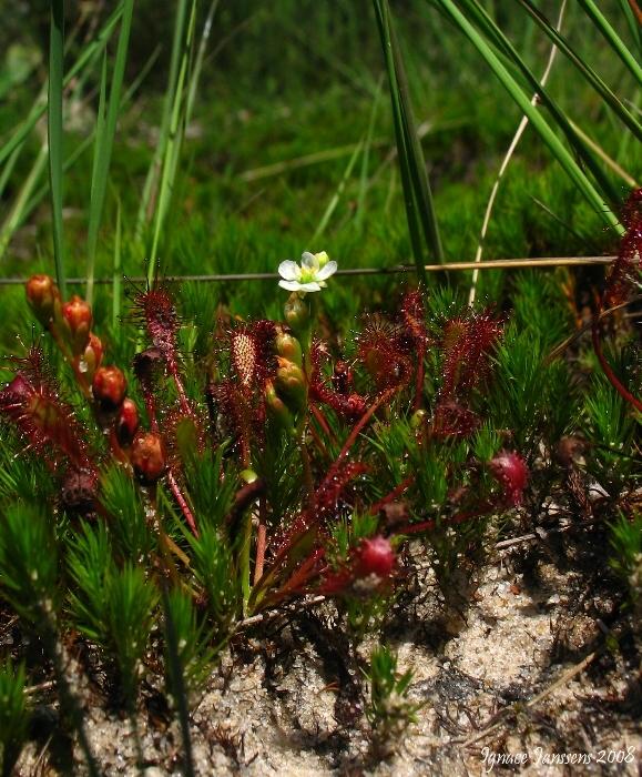 Drosera intermedia and flower