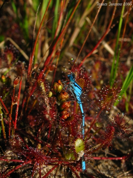 Drosera intermedia and prey