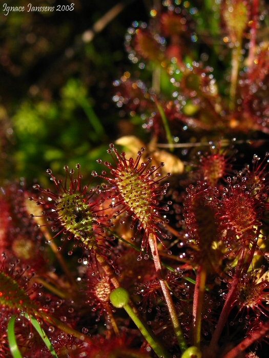 Drosera intermedia close up