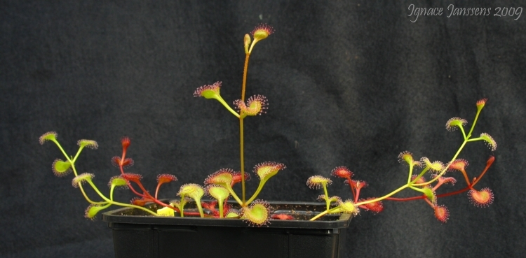 Drosera rupicola ( red and green plants )