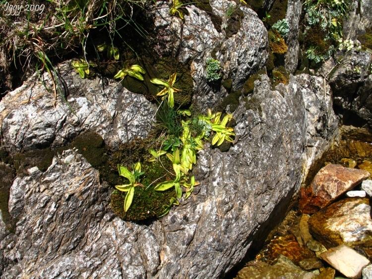 Pinguicula vulgaris,Massif des Grandes Rousses,France 2009