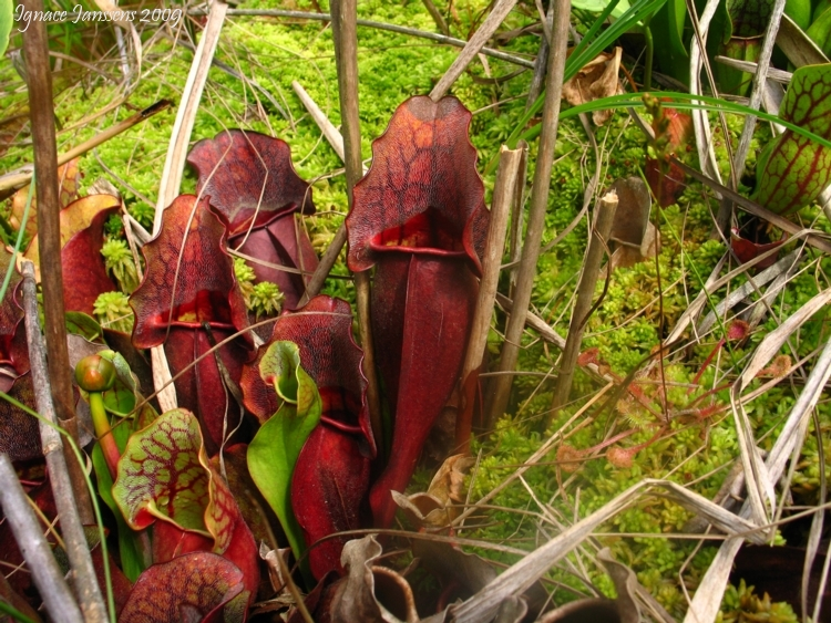 Very beautiful red coloured Sarracenia purpurea ssp. purpurea Isère,France 2009