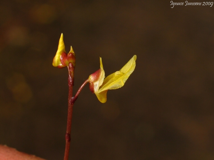 Utricularia minor in very dry pool